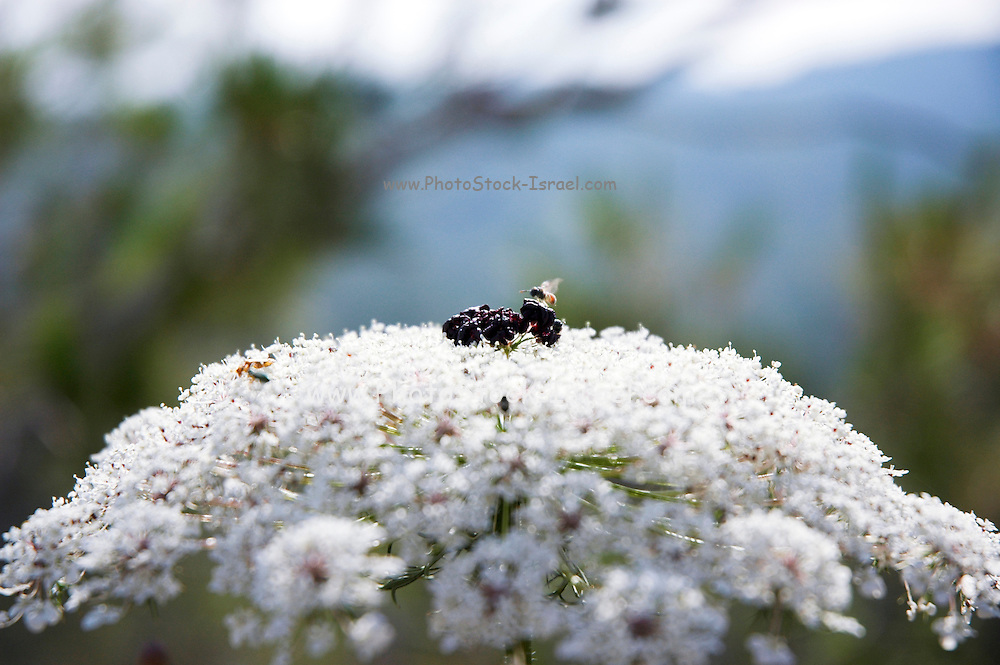 Israel, Daucus carota (common names include wild carrot, bird's nest, bishop's lace, and Queen Anne's lace)