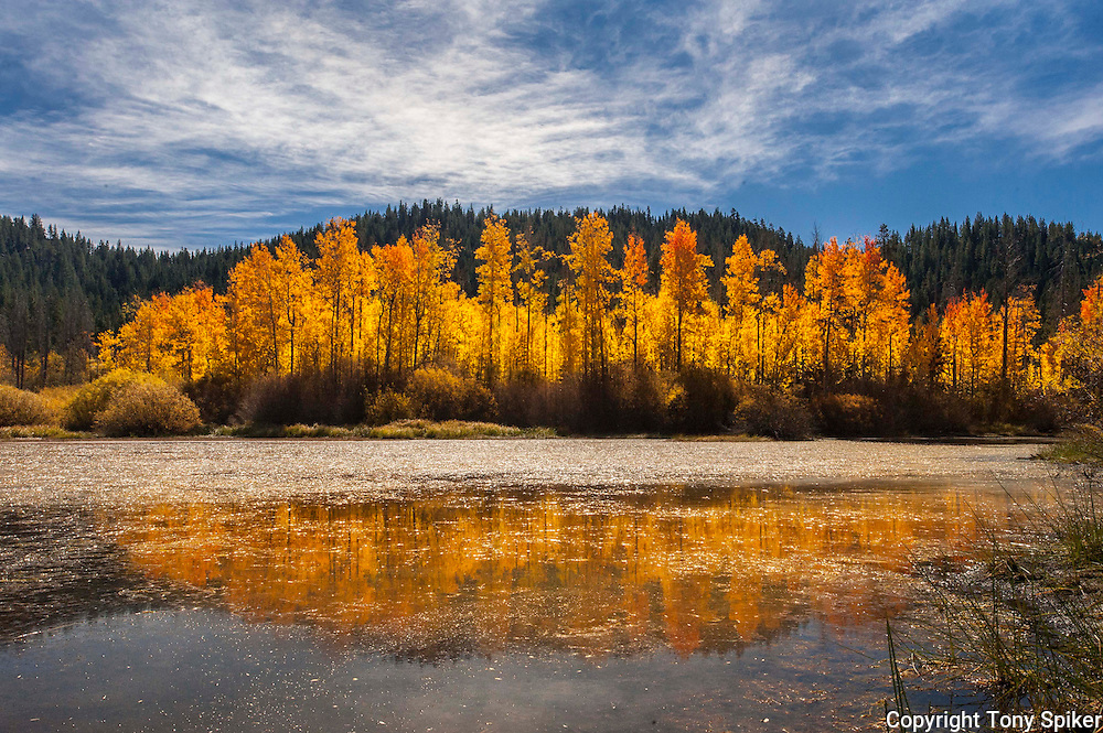 """Fall Aspen Grove 1"" - A photograph of an aspen grove in fall near Spooner Summit"