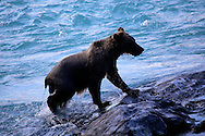 Alaskan brown bear on the Russian River, Alaska