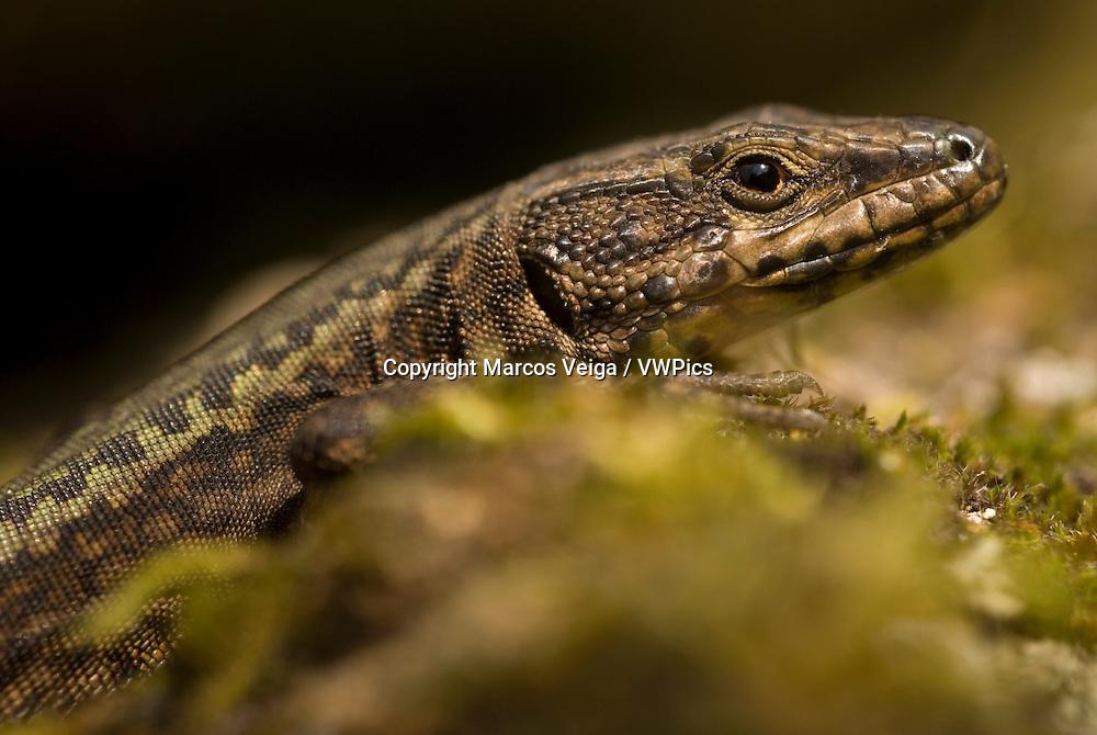Male Bocage´s wall lizard (Podarcis bocagei)