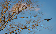 Bald Eagles at Sunset over the Patapsco River in Oella, Maryland.