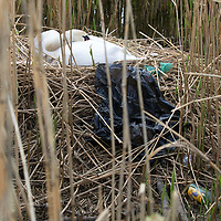 Swans Nest In Rubbish