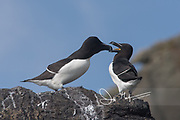 Razorbills rest on the cliffs of Skomer Island, a National Nature Reserve of Wales, U.K..