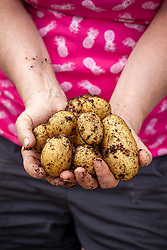Holding a handful of freshly harvested container grown potatoes. Solanum tuberosum 'Lady Christl'.