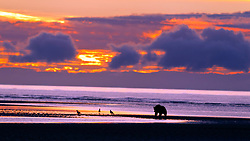 North American brown bear /  coastal grizzly bear (Ursus arctos horribilis) sow walking along a beach during sunrise, Lake Clark National Park, Alaska, United States of America