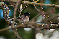 A dark-eyed junco perches in a maple tree south of Seattle.