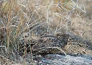 Savanna nightjar (Caprimulgus affinis) from Bandhavgarh National Park, India.