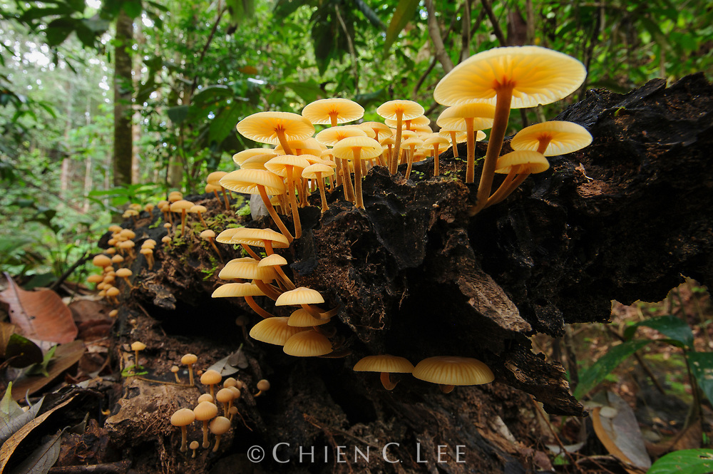 Mushrooms growing on a rotting log in the understory of the Borneo rainforest. Sarawak, Malaysia.
