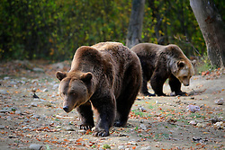 ROMANIA ZARNESTI 27OCT12 - Rescued Eurasian brown bears Jimmy and Jexy at the Zarnesti Bear Sanctuary in Romania, funded by WSPA...With over 160 acres (70 hectares) spread over a wooded hillside, it is Romania's first bear sanctuary and today houses 67 bears rescued from ramshackle zoos and cages at roadside restaurants.......jre/Photo by Jiri Rezac / WSPA..© Jiri Rezac 2012