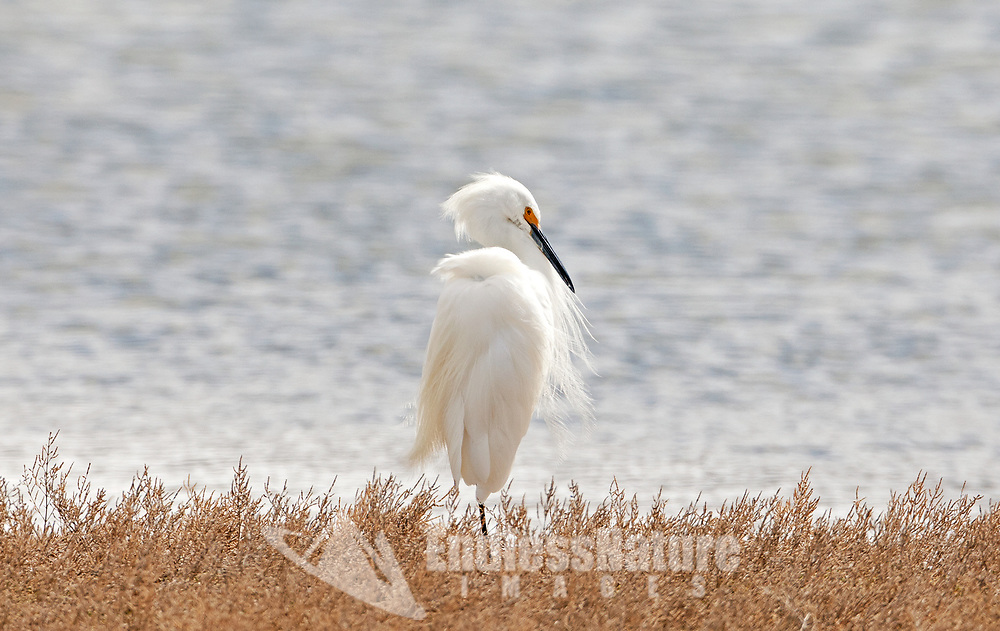 A Snowy Egret rests on the shores of a local wetland.