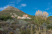 Fynbos vegetation<br /> Sandy Bay<br /> Karbonkelberg, part of Table Mountain National Park<br /> Western Cape<br /> SOUTH AFRICA