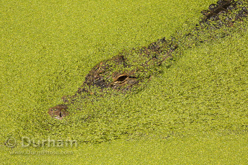 An American alligator (Alligator mississippiensis) hidden in pond weed, Florida.