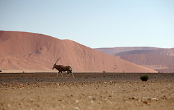 NAMIBIA SOSSUSVLEI 21APR14 - General view of a male Oryx in the Sossusvlei in the Namib Desert, Namibia.<br /> <br /> Sossusvlei is a salt and clay pan surrounded by high red dunes, located in the southern part of the Namib Desert, in the Namib-Naukluft National Park, which is one of the major visitor attractions of Namibia.<br /> <br /> jre/Photo by Jiri Rezac<br /> <br /> © Jiri Rezac 2014