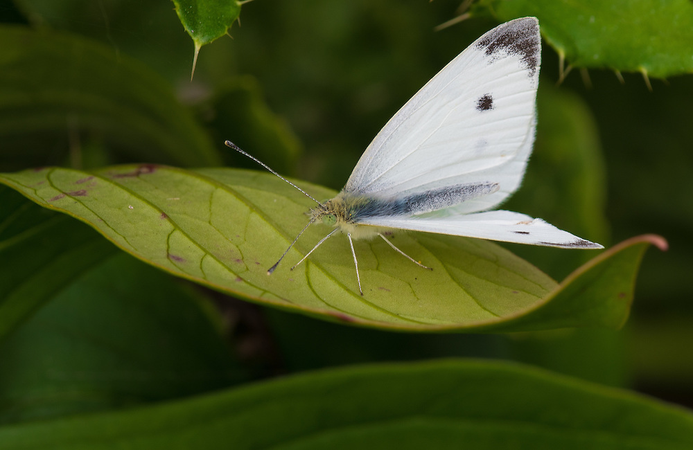 A cabbage white butterfly (Pieris rapae) rests on a leaf. (Sam Lucero photo)