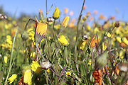 Namaqualand flowers, Nieuwoudtville, Northern Cape, South Africa..Pictures Zute & Demelza Lightfoot