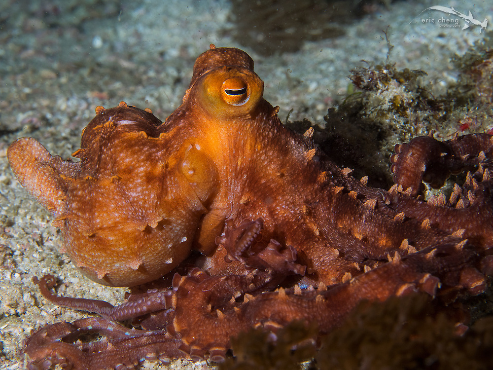 Starry night octopus (Callistoctopus luteus) out during a night dive. Wainilu, Rinca, Komodo National Park, Indonesia.