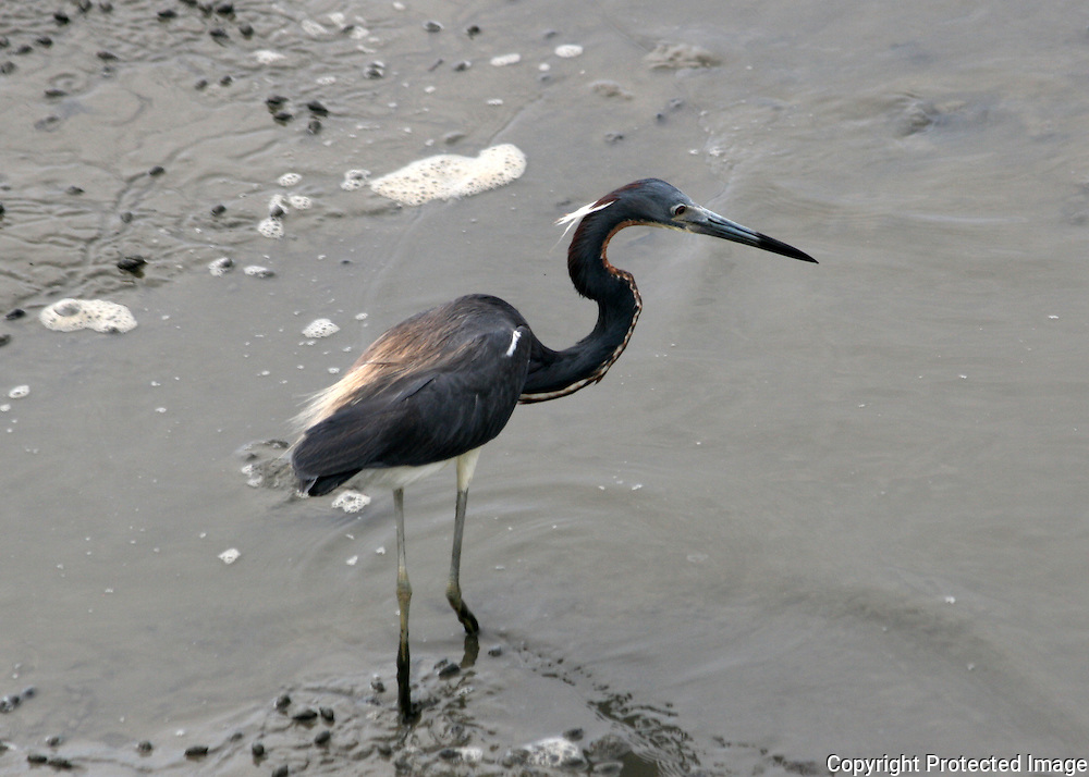 Tri colored heron hunting at low tide on Jekyll Island