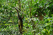 White-Bellied Spider Monkey (Ateles belzebuth) & Baby<br /> Yasuni National Park, Amazon Rainforest<br /> ECUADOR. South America<br /> HABITAT & RANGE: Tropical forests of Brazil, Columbia, Ecuador, Peru and Venezuela