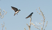 Two Tree swallows share a tree in springtime.