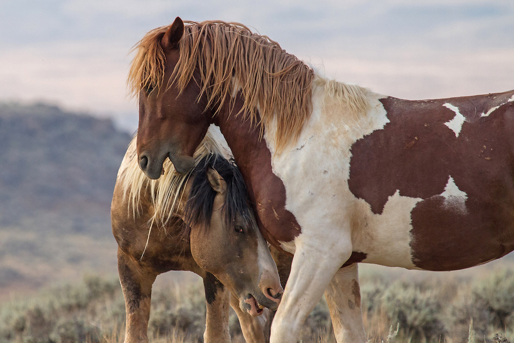 The buckskin pinto stallion, known as Traveler, playfully greets another member of his bachelor band near the local waterhole at McCullough Peaks Herd Management Area.