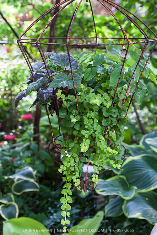 Decorative plants in a hanging wire plant container.