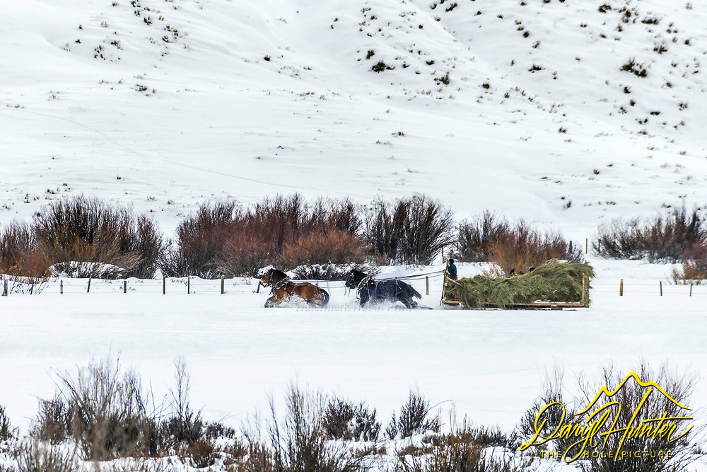 Quitting Time Out West, must be beer thirty.  In the Mountains of Wyoming many rancher still feed their stock with a team of drift horses.  Love seeing western ranchers keeping the old west alive.