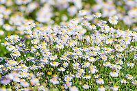 Puple daisies growing in the grasslands, Addo Elephant National Park, Eastern Cape, South Africa
