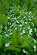 Trillium, Trillium grandiflorum, and Ostrich Fern, Matteuccia struthiopteris, Pictured Rocks, Grand Marais, Michigan