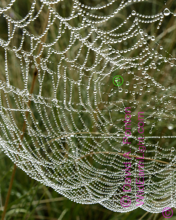 Dew formed on orb web emphasizes the striking organization of the spiders net, Valles Caldera National Preserve© 2017 David A. Ponton [Prints to 8x10, 16x20, 24x30, or 40x50 in. with no cropping]