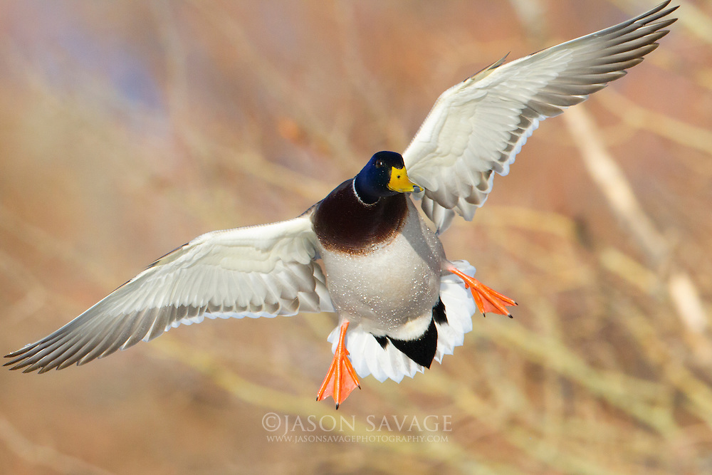 Mallard in flight preparing to land, Montana.