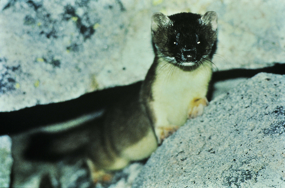 A sixteen inch long weasel emerges from a rock slide hunting pikas. Colorado