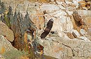 Spanish Imperial Eagle - Aquila adalberti - Adult in flight