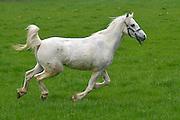 Nederland, Groesbeek, 8-6-2013Een dartel paard rent door de wei.Foto: Flip Franssen/Hollandse Hoogte