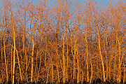 Trembling aspen (white poplar) trees at sunrise<br /> Dugald<br /> Manitoba<br /> Canada