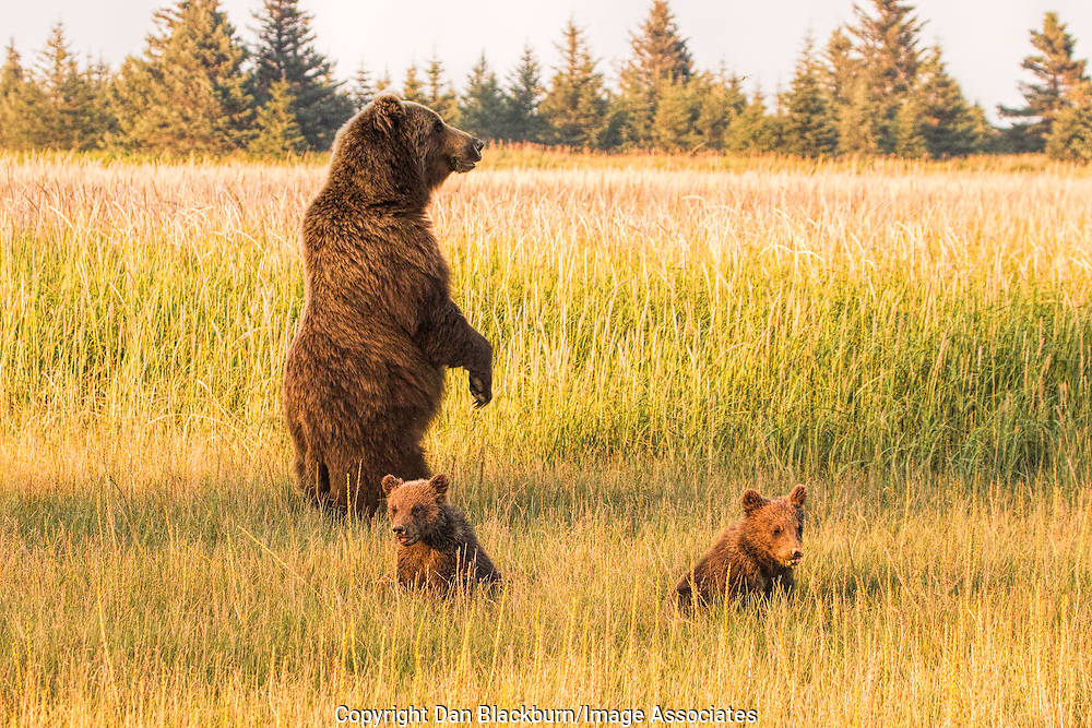 Mother Grizzly Bear With Two Small Cubs Checking for Threats.