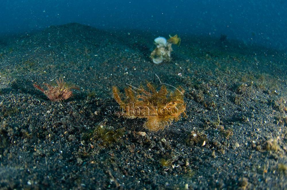 Ambon Scorpionfish, Pteroidichthys amboinensis, on black sand, KBR, Lembeh Strait, Sulawesi, Indonesia.