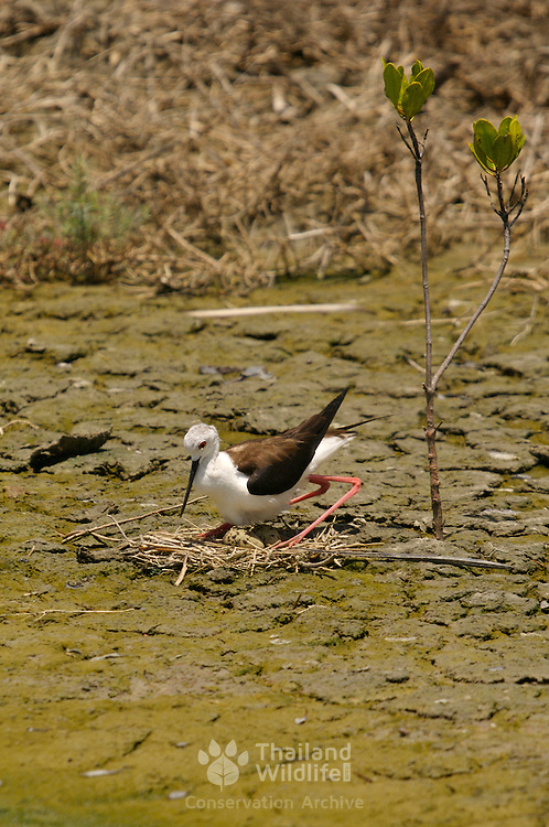 Black-winged Stilt, Himantopus himantopus, tending for eggs at the nest site