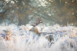 © Licensed to London News Pictures. 08/11/2016. London, UK. A fallow deer seen at sunrise among frosted grass and bracken in Richmond Park. Forecasters expect snow to hit parts of the UK today as temperatures dropped to freezing overnight. Photo credit: Rob Pinney/LNP