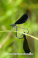 06014-002.20 Ebony Jewelwing (Calopteryx maculata) male & female in copulation wheel, Lawrence Co. IL