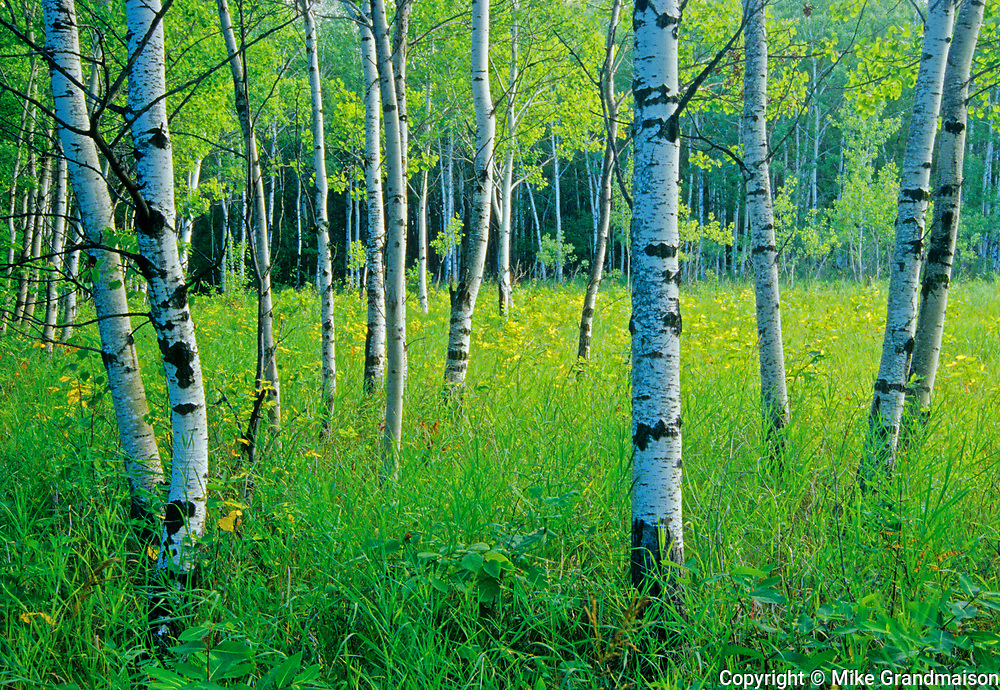 Aspen forest (Bois-des-esprits)<br />Winnipeg<br />Manitoba<br />Canada