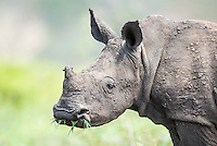 White Rhino calf with grass in its mouth, Phinda private Game Reserve, KwaZulu Natal, South Africa
