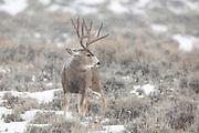 Mule deer buck in snowstorn in Wyoming