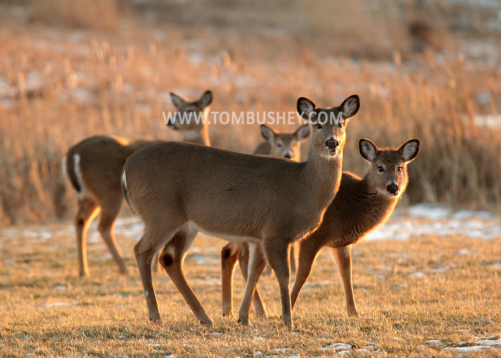 Goshen, New York - White-tailed deer feed in a field at sunset on Jan. 9, 2010. © Tom Bushey / The Image Works
