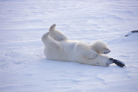 Polar Bear, (Ursus maritimus) Playing with hat. Churchill, Manitoba. Canada.