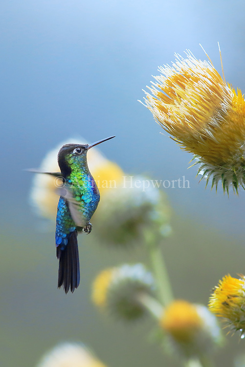 There is something immensely satisfying about photographing hummingbirds in only natural light. This Green-crowned Brilliant Hummingbird was feeding at giant thistles in a bright cloud forest clearing on Cerro de la Muerte mountain. There was plenty of ambient light, which allowed me to capture this image without having to use any flashes.<br /> <br /> For sizes and pricing click on ADD TO CART (above).