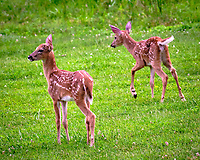 Pair of Fawns. Image taken with a Fuji X-T3 camera and 200 mm f/2 OIS lens with 1.4x teleconverter