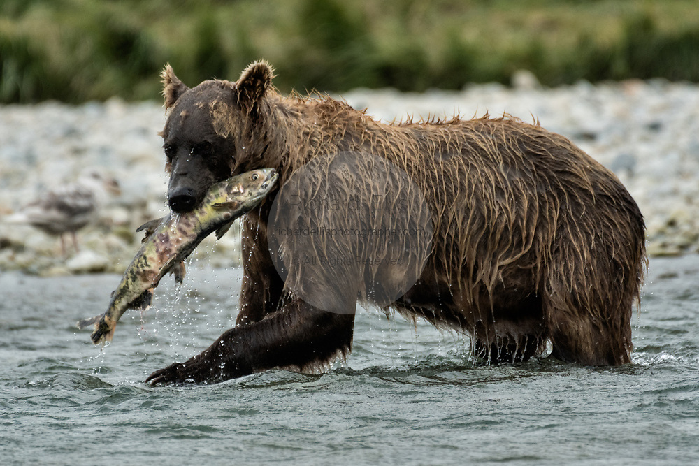 A brown bear sow catches chum salmon at the McNeil River State Game Sanctuary on the Kenai Peninsula, Alaska. The remote site is accessed only with a special permit and is the world's largest seasonal population of brown bears in their natural environment.
