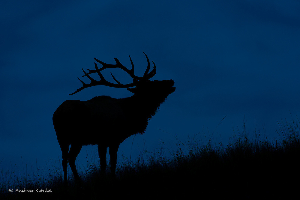 A bugling bull elk silhouetted against dark rain clouds, Lake County
