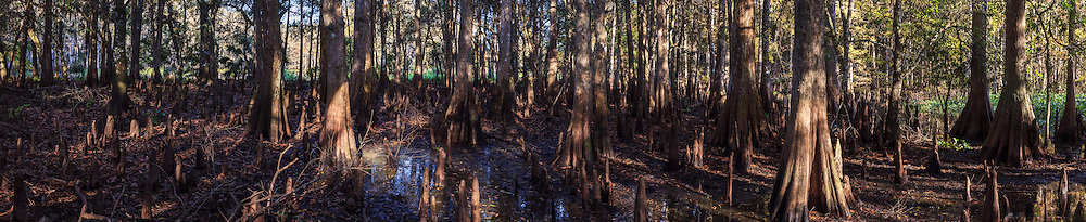 Panoramic view of the interior of a cypress grove on an island in Florida's Fisheating Creek, in the Fisheating Creek Wildlife Management Area (WMA).<br />