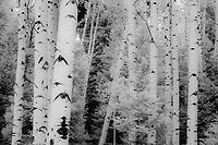 Aspen grove in autumn on Owl Creek Pass, CO